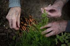 The hands of old ladies touching the soil and the baby carrots.