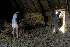 Men throwing packs of wheat from the barn.Des hommes passant des bottes de foin de la grange.